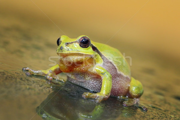cute curious green tree frog Stock photo © taviphoto