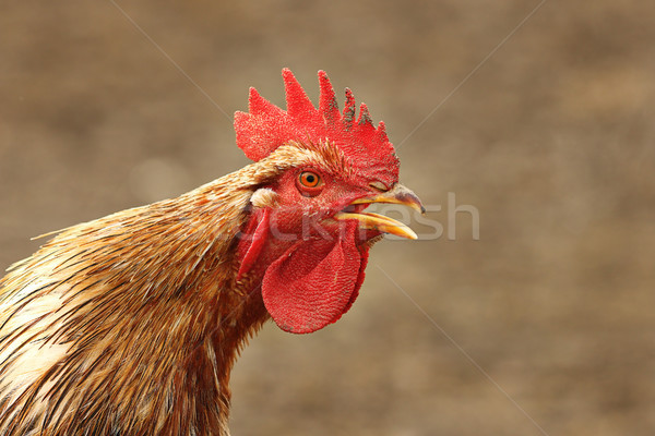 close up of singing rooster 1 Stock photo © taviphoto