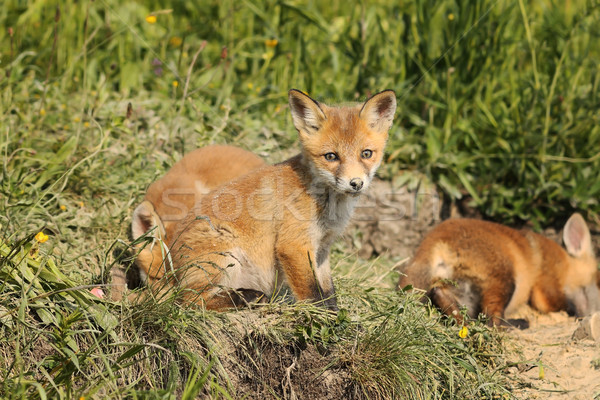 family of red foxes in natural habitat Stock photo © taviphoto