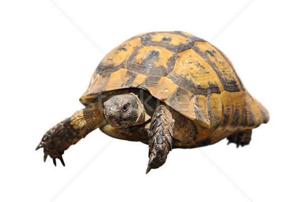 greek tortoise over white Stock photo © taviphoto