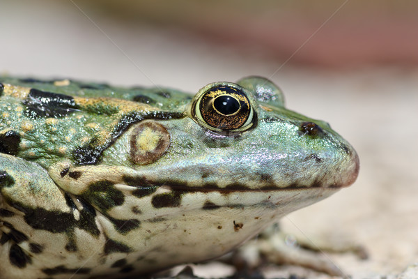 profile view of marsh frog head Stock photo © taviphoto