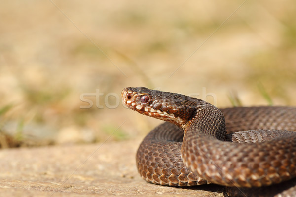 female common crossed adder close-up Stock photo © taviphoto