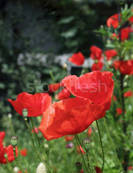 red poppies of early summer Stock photo © taviphoto