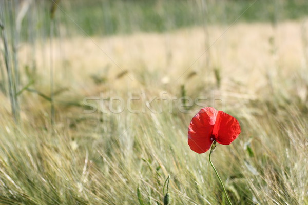 minimalist view of a red poppy Stock photo © taviphoto