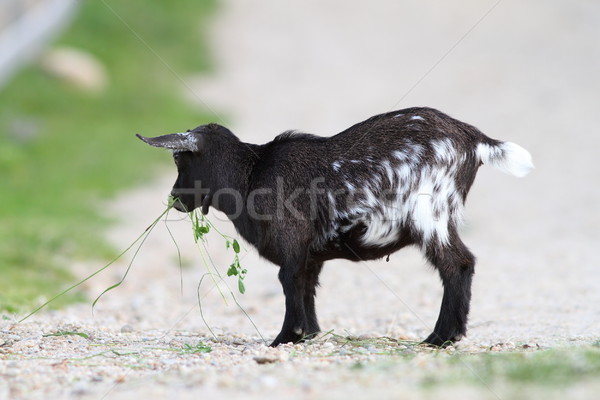 Stock photo: young black goat