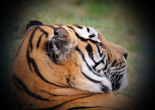 beautiful tiger portrait  Stock photo © taviphoto