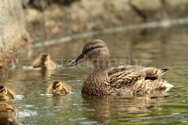 female mallard duck with offspring Stock photo © taviphoto