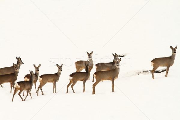 big herd of roe deers Stock photo © taviphoto