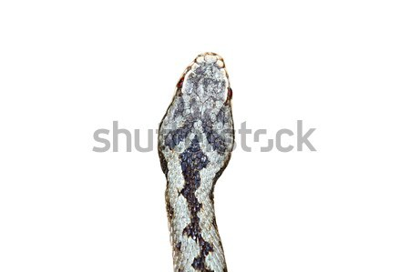 isolated head of vipera berus Stock photo © taviphoto
