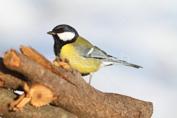 great tit standing in the garden Stock photo © taviphoto