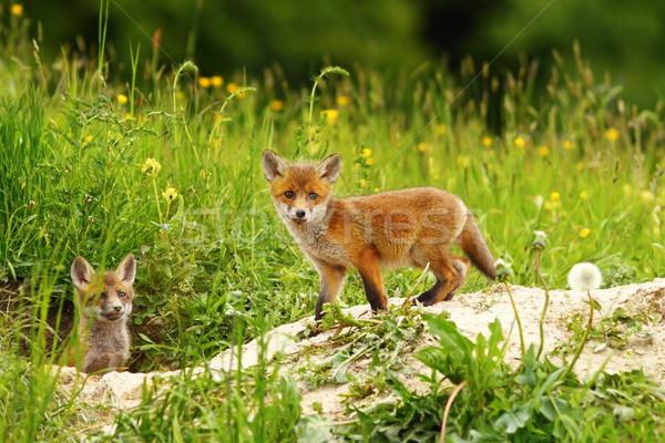 Aranyos róka medvebocs fű természet zöld Stock fotó © taviphoto