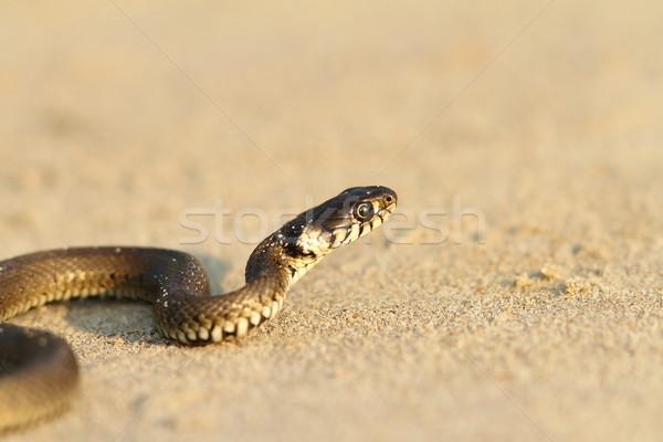 Gras slang zandstrand zand jonge dier Stockfoto © taviphoto