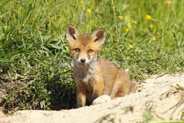 Cute Fox щенков глядя камеры европейский Сток-фото © taviphoto