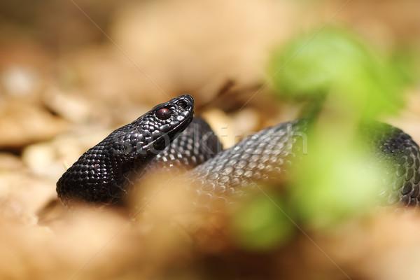 portrait of black viper Stock photo © taviphoto