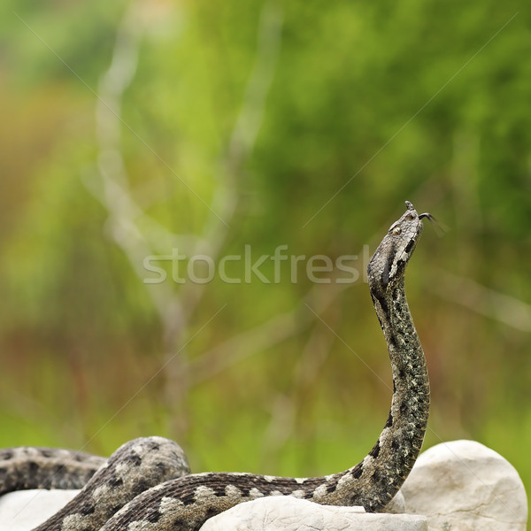 european venomous snake ready to attack Stock photo © taviphoto