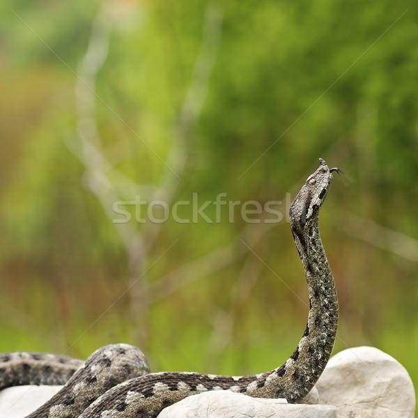 Europese giftig slang klaar aanval een Stockfoto © taviphoto