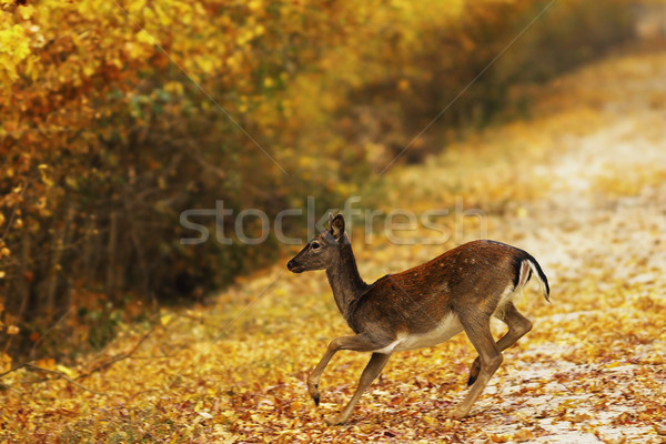 fallow deer doe passing rural road Stock photo © taviphoto
