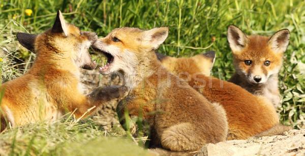 fox cubs biting white playing near the burrow Stock photo © taviphoto