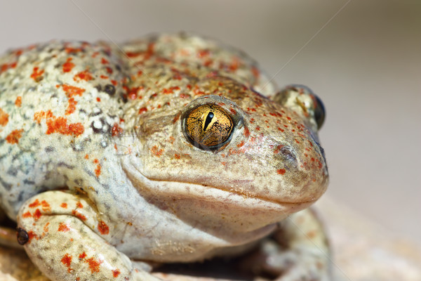 portrait of Pelobates fuscus Stock photo © taviphoto