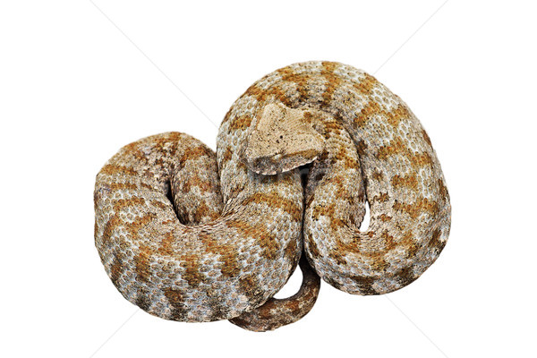 Stock photo: isolated blunt nosed viper