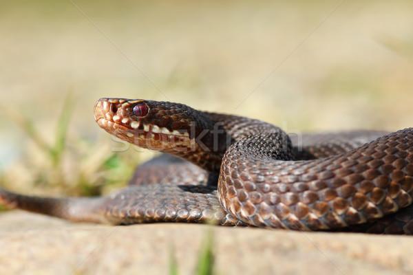 close-up of common european crossed viper Stock photo © taviphoto