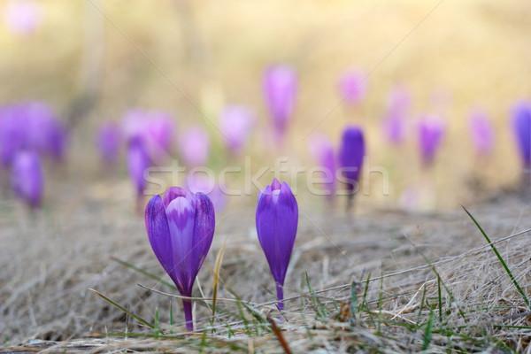 Primavera açafrão flores silvestres pormenor crescente grama Foto stock © taviphoto