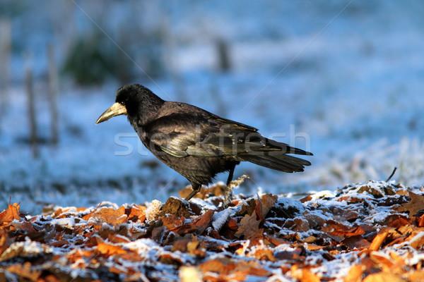 corvus frugilegus foraging on ground Stock photo © taviphoto