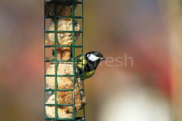 great tit on a fat feeder Stock photo © taviphoto