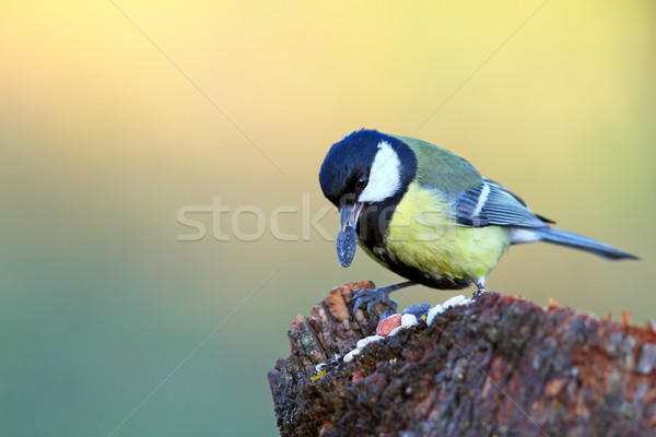 great tit with seed in beak Stock photo © taviphoto