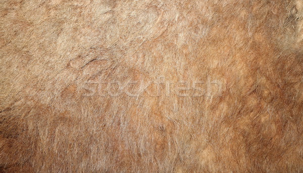 real lion textured pelt Stock photo © taviphoto