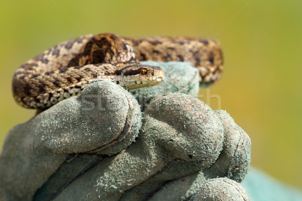 meadow viper on glove Stock photo © taviphoto