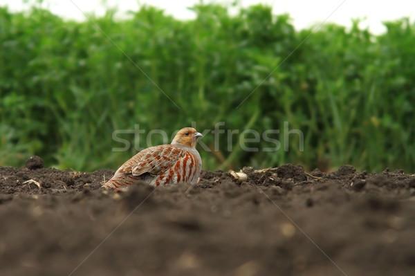 male grey partridge Stock photo © taviphoto