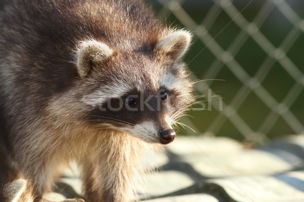 raccoon portrait at the zoo Stock photo © taviphoto