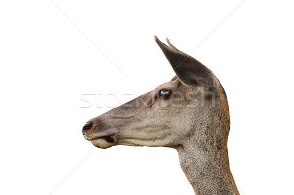 red deer doe isolated portrait Stock photo © taviphoto