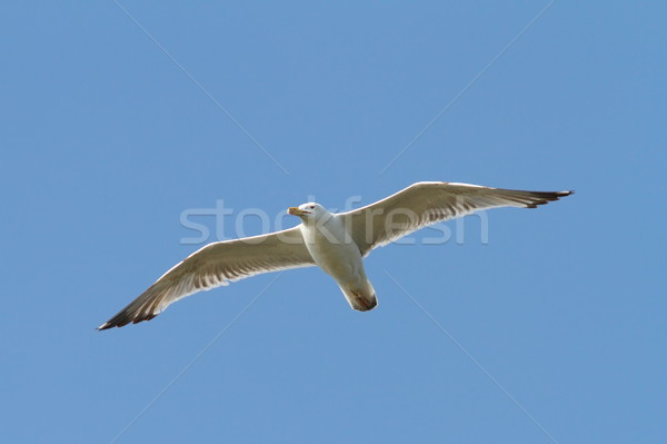 caspian gull flying over the sky Stock photo © taviphoto