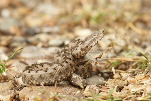 Vipera ammodytes Stock photo © taviphoto