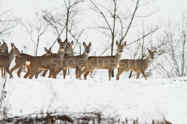 deers near the forest Stock photo © taviphoto