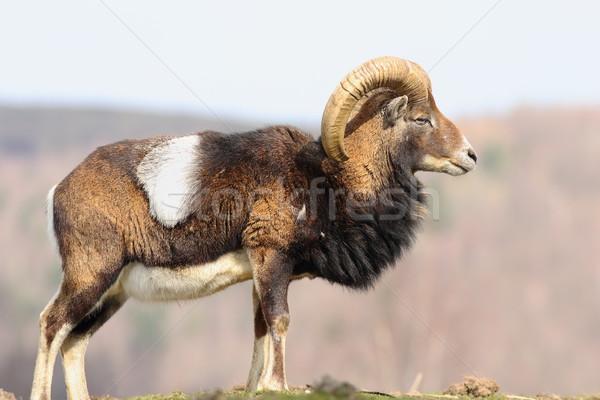 Gyönyörű fenséges kos természet háttér fej Stock fotó © taviphoto