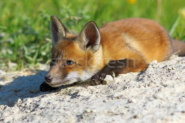 Lui vos Rood leggen voorjaar gras Stockfoto © taviphoto