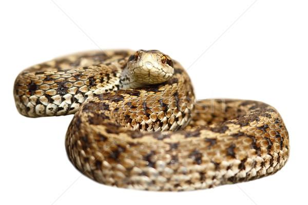 Odizolowany łące gotowy strajk biały węża Zdjęcia stock © taviphoto