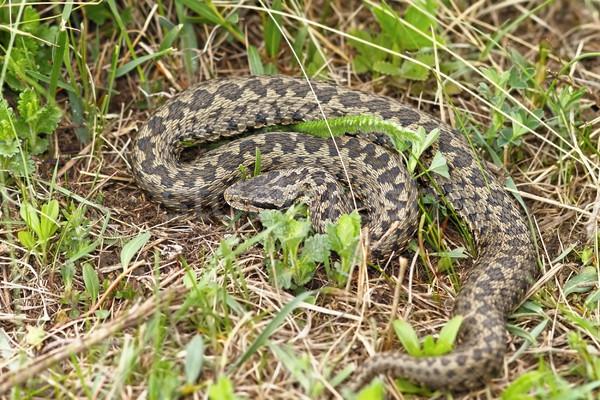 Serpente Europa prato naturale habitat natura Foto d'archivio © taviphoto
