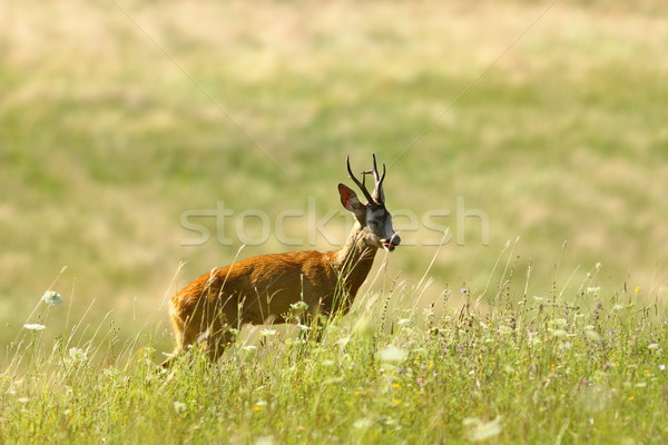 鹿 バック 自然 草原 ストックフォト © taviphoto