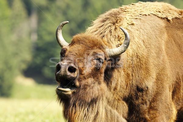 Stok fotoğraf: Avrupa · bizon · portre · yüz · ağız · kafa