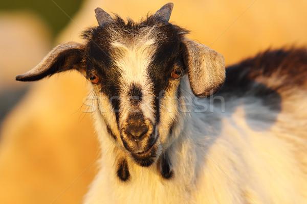 Cute jóvenes cabra retrato mirando Foto stock © taviphoto