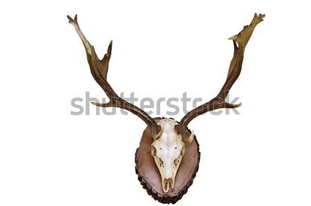 большой красивой красный оленей череп белый Сток-фото © taviphoto