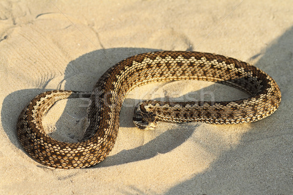 moldavian meadow viper on sand Stock photo © taviphoto