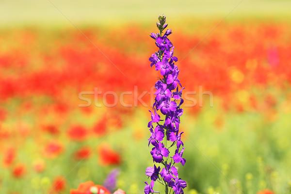 Fioletowy dziki kwiat rozwój czerwony maku dziedzinie Zdjęcia stock © taviphoto
