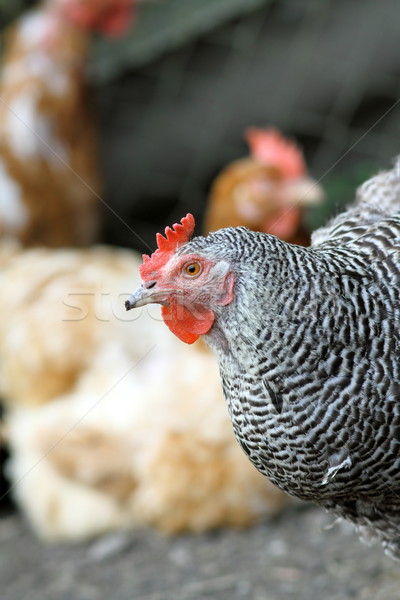 hen in the farmyard Stock photo © taviphoto