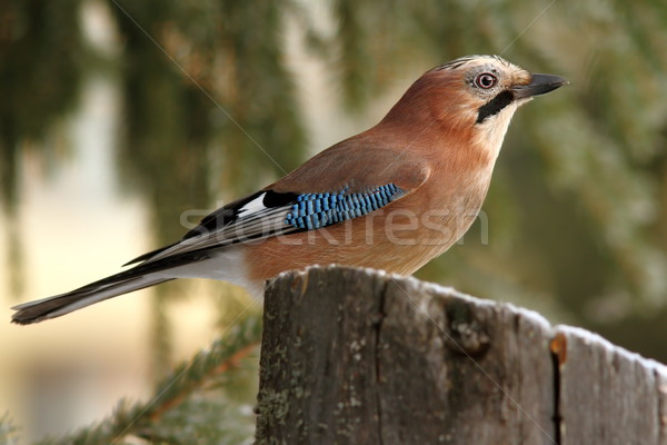 eurasian jay profile in the forest Stock photo © taviphoto