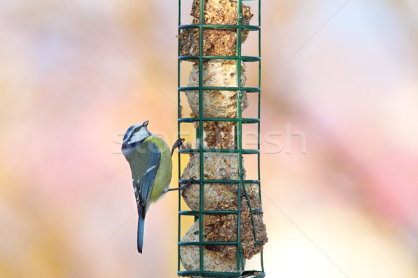 tiny blue tit looking at food Stock photo © taviphoto
